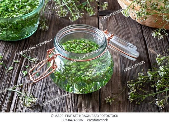 A jar filled with blooming shepherd's purse and alcohol, to prepare herbal tincture