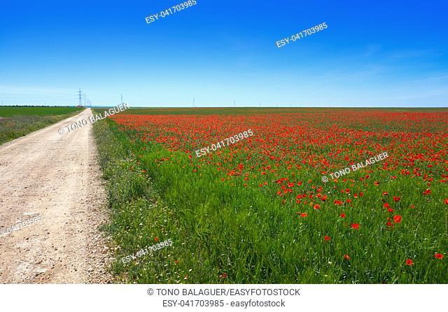 Cereal field meadow in Castile La Mancha of Spain by Saint James Way of Levante