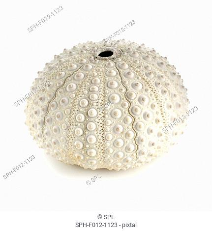 White sea urchin shell