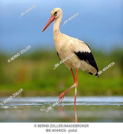 White Stork (Ciconia ciconia) foraging, Kiskunsag National Park, Hungary