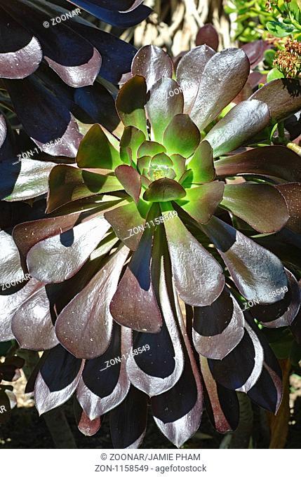 Aeonium Voodoo Plant