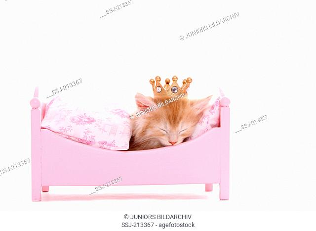 American Longhair, Maine Coon. Kitten (6 weeks old) sleeping in a pink dolls bed, wearing a crown. Studio picture against a white background. Germany