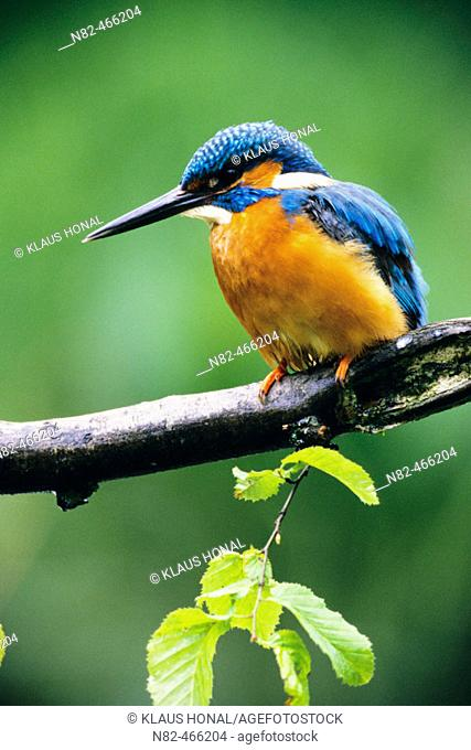 Kingfisher (Alcedo atthis) male at the hunt