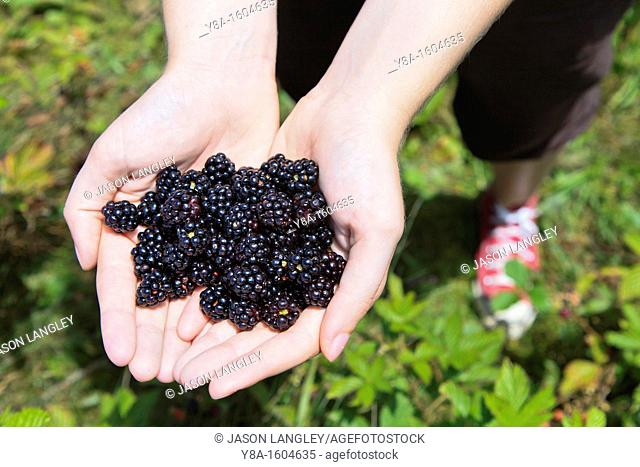 A woman's hands holding fresh-picked wild blackberries, Max Patch Bald, North Carolina-Tennessee Border, United States