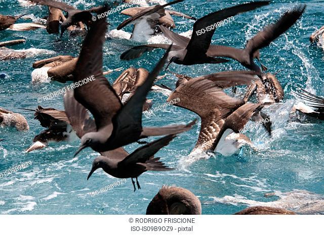 Flock of birds feeding on water surface, Seymour, Galapagos, Ecuador, South America