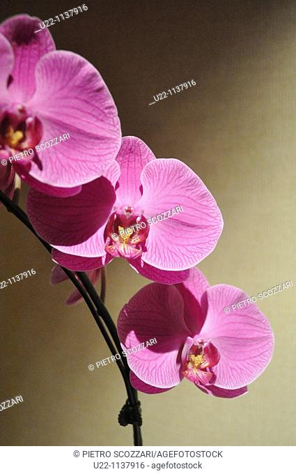 Singapore: orchid at the Fullerton Hotel
