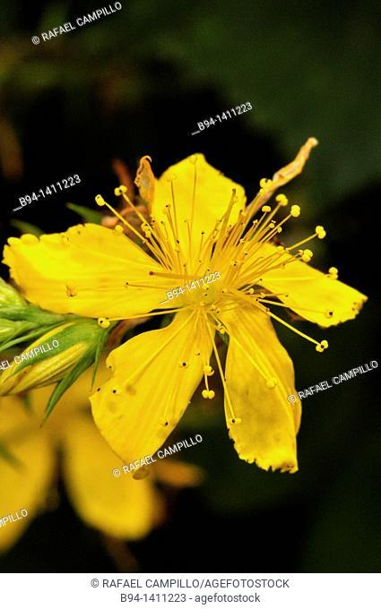 St. John's-wort flower (Hypericum sp., fam. Hypericaceae), Osseja, Pyrenees-Orientales, Languedoc-Roussillon, France