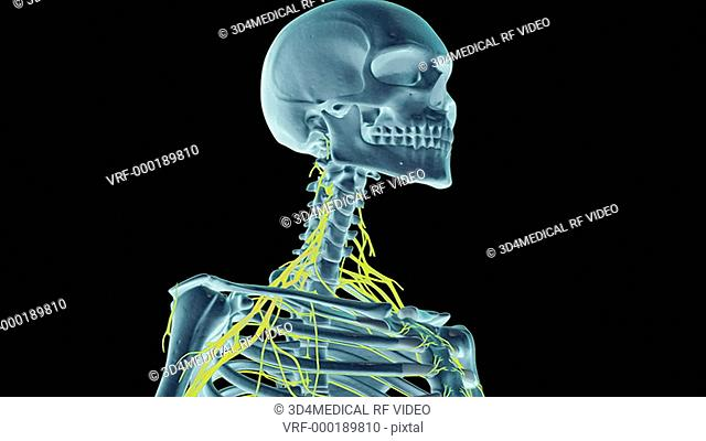An animation of the nerves of the neck. The camera zooms in and rotates to show the nerves of the neck relative to the skeleton