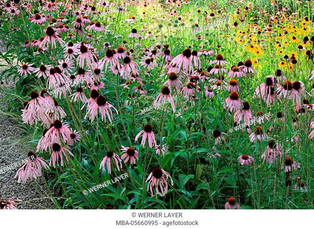 Garden with Echinacea in summer, Echinacea purpurea