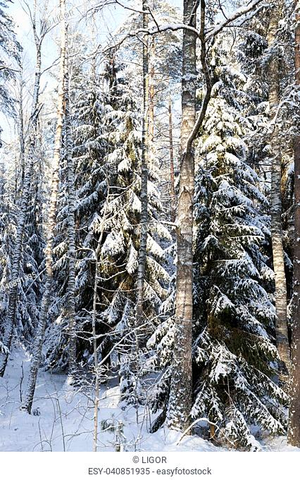 trees growing in the forest. On the branches of the fir tree lies snow and presses them to the ground. Photo taken after a snowstorm