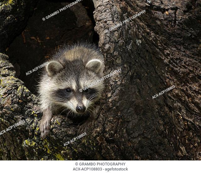 Young raccoon, Procyon lotor, in hollow stump, Montana, USA