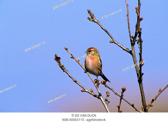 Common Redpoll (Carduelis flammea) portrait, on branch, Europe, The Netherlands