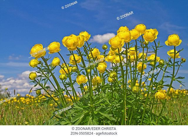 Viele gelbe Trrollblumen zur Frühlingszeit auf einer oberbayrichen Wiese