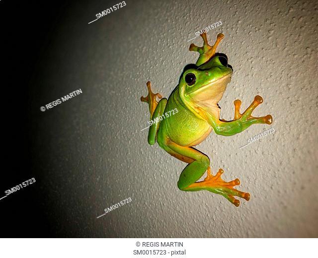 Green tree frog on a grey wall at night