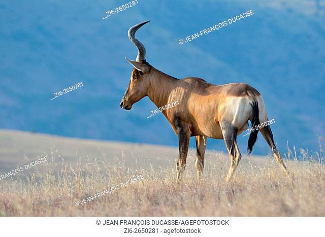 Red hartebeest (Alcelaphus buselaphus), adult male, standing in the dry grass, Mountain Zebra National Park, Eastern Cape, South Africa, Africa