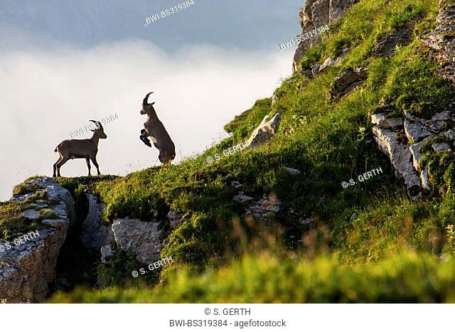 alpine ibex (Capra ibex), ranking fight on a rock spur, Switzerland, Toggenburg, Chaeserrugg