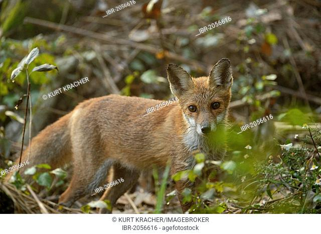 Red Fox (Vulpes vulpes), Danube wetlands, Donau Auen National Park, Lower Austria, Austria, Europe