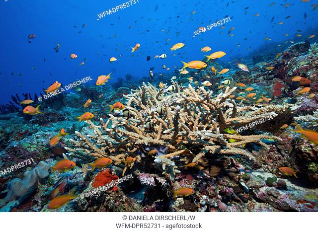 Lyretail Anthias in Coral Reef, Pseudanthias squamipinnis, North Male Atoll, Maldives
