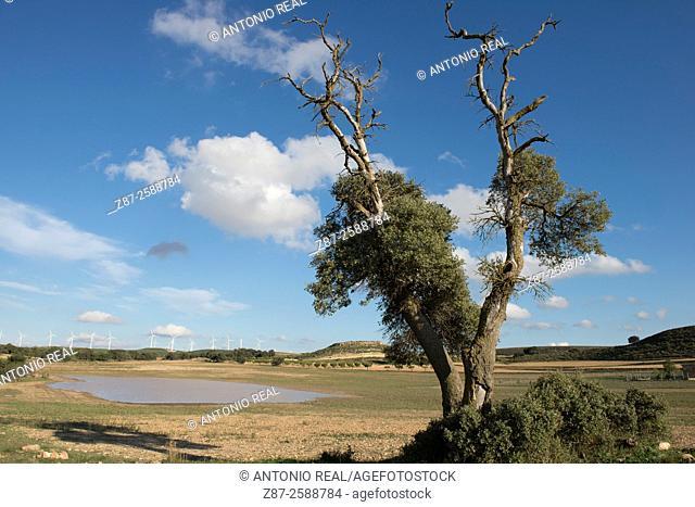 Holm oak (Quercus ilex), paraje de Botas, Almansa, Albacete, Castile-La Mancha, Spain