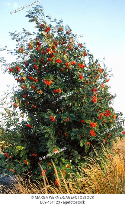 Rowan tree (Sorbus aucuparia L. ) European mountain ash. Schleswig-Holstein. Germany