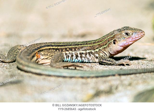Texas Spotted Whiptail Lizard - Camp Lula Sams - Brownsville, Texas USA