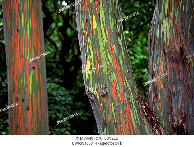 rainbow eucalyptus, Painted eucalyptus (Eucalyptus deglupta), The green and red bark is one of natures incredible visual delights, Hawaii, Maui