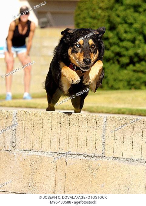 Shepard mix dog jumping wall
