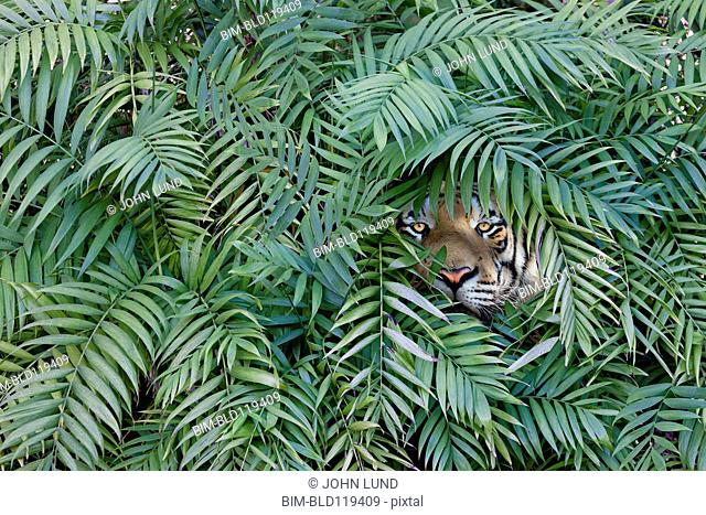 Tiger peering through dense forest
