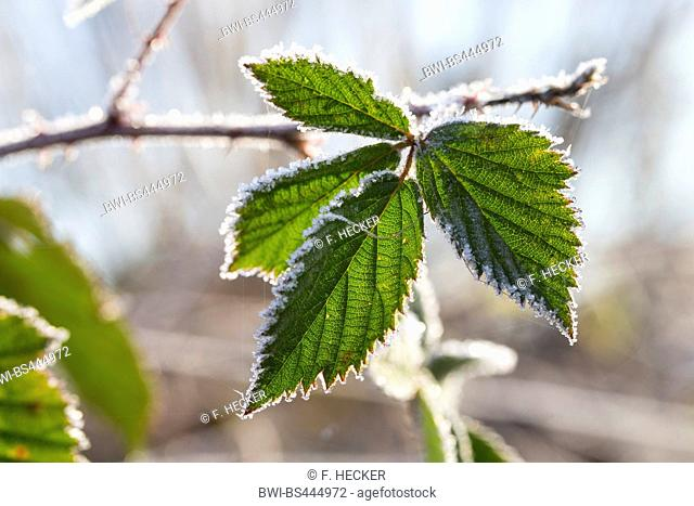 shrubby blackberry (Rubus fruticosus agg.), leaf with hoar frost, Germany
