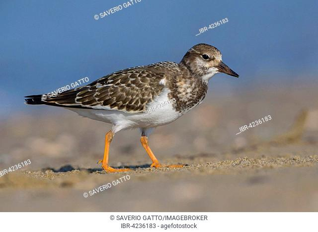 Ruddy Turnstone (Arenaria interpres) juvenile on a beach, Campania, Italy
