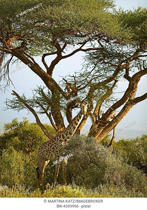 Giraffe (Giraffa camelopardalis) under an acacia, Amboseli National Park, Kajiado County, Kenya