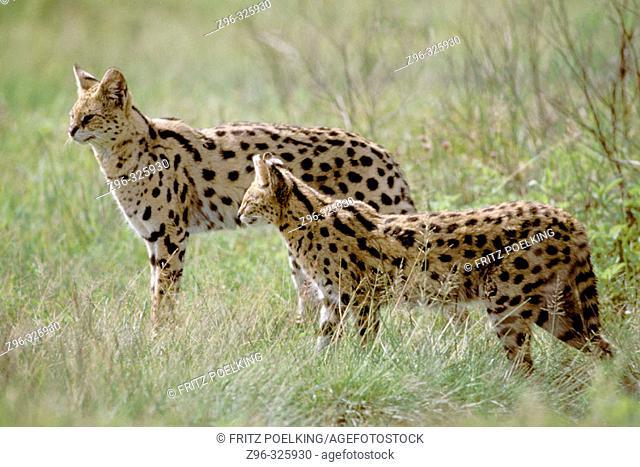 Serval (Felis serval). Masai Mara wildlife reservation, Kenya