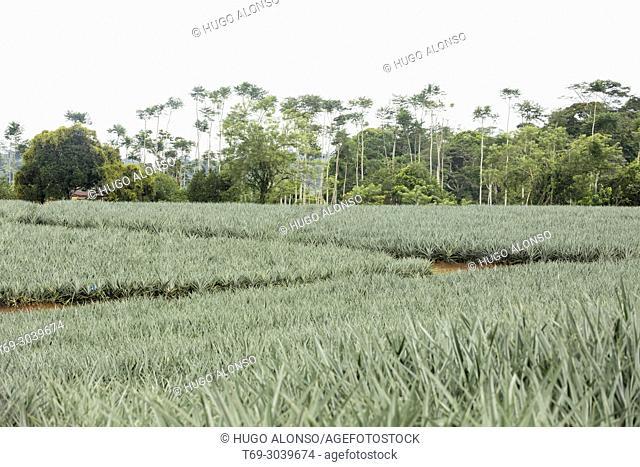 Pineapple plantation. Costa Rica