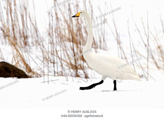 Whooper swan (Cygnus cygnus) adult, Japan