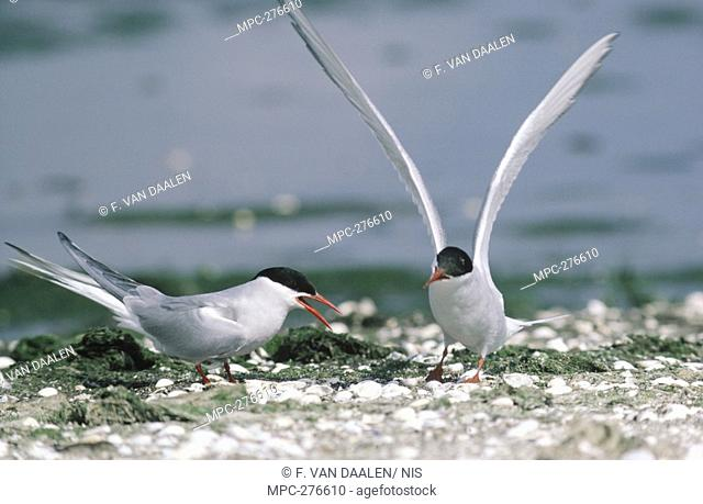 Arctic Tern Sterna paradisaea, two adults on ground displaying, Europe