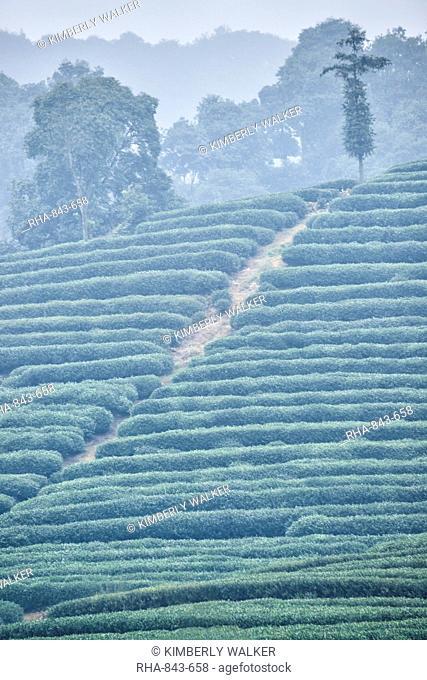 Tranquil scenery of groomed shrubs on a foggy morning at Dragon Well Tea green tea plantation, Hangzhou, Zhejiang, China, Asia
