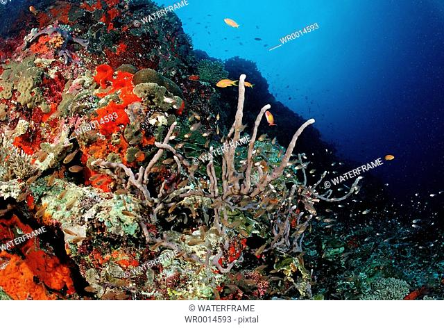 Coral Fishes at Coral Reef, Pempheris, Indian Ocean, Maldives