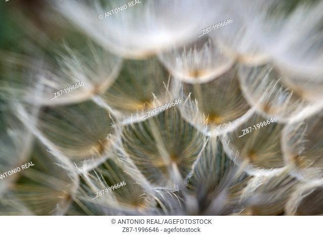 Salsify (Trapopogon porrifolius). Almansa, Albacete province, Castilla-La Mancha, Spain