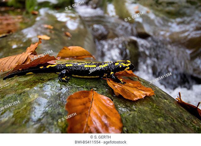 European fire salamander (Salamandra salamandra), sitting on a rock a a forest creek, Switzerland, Sankt Gallen