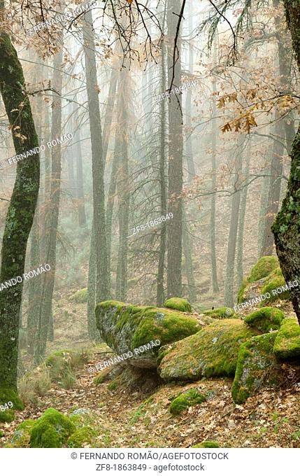 Forest in the mist, at Estrela Mountain Natural Park, Portugal