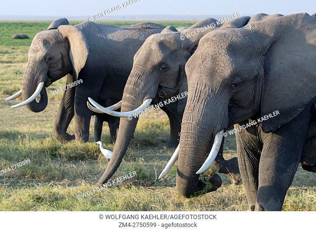 African elephants (Loxodonta africana) feeding on grass in Amboseli National Park in Kenya