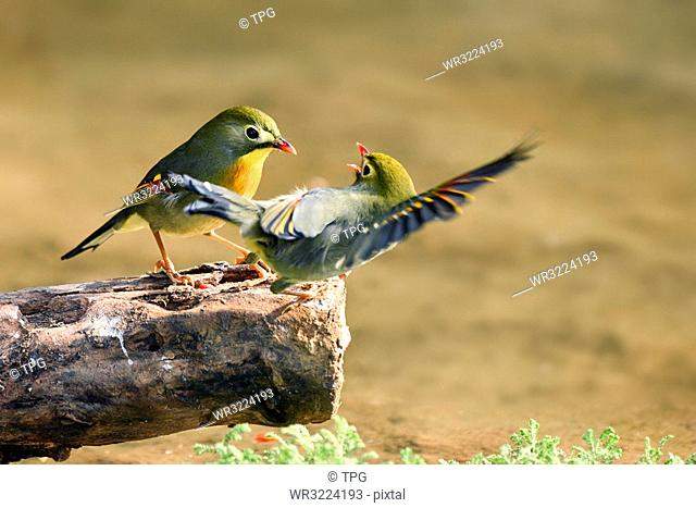 Two Red-billed leiothrix talking to each other, Kunming, Yunnan, China