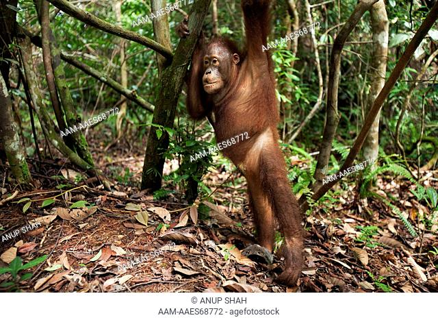 Bornean Orangutan male adolescent 'Percy' aged 8 years leaning against a tree - wide angle perspective (Pongo pygmaeus wurmbii)