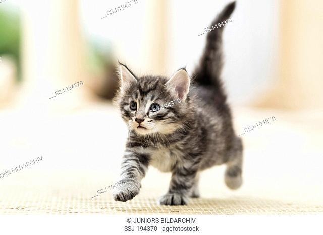 Norwegian Forest Cat. Tabby kitten (7 weeks old) walking on a rug. Germany