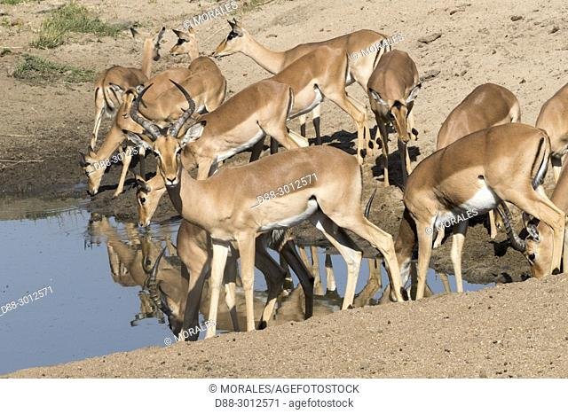 Africa, Southern Africa, South African Republic, Mala Mala game reserve, Impala (Aepyceros melampus), drinking in a pool