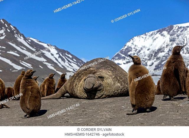 Antarctic, South Georgia Island, Salysbury plains, Southern Elephant Seal (Mirounga leonina), male