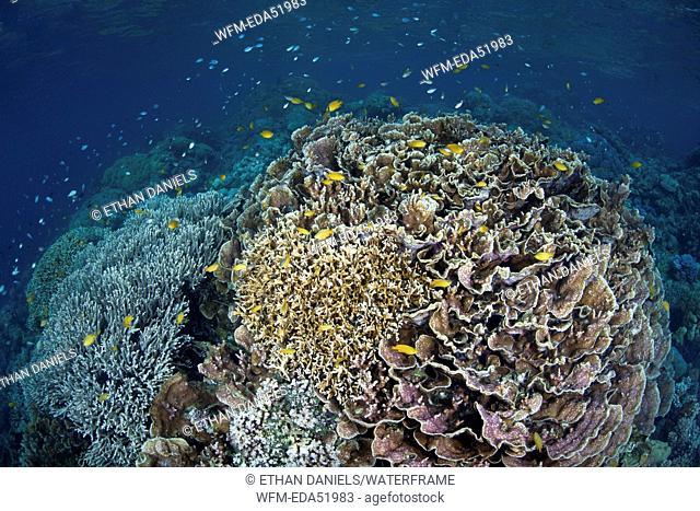 Healthy Coral Reef, Acropora sp., Melanesia, Pacific Ocean, Solomon Islands