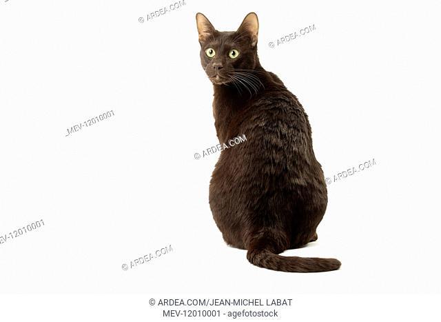 Havana Brown cat in the studio