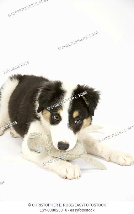 Cute young Border Collie puppy playing with his soft toy