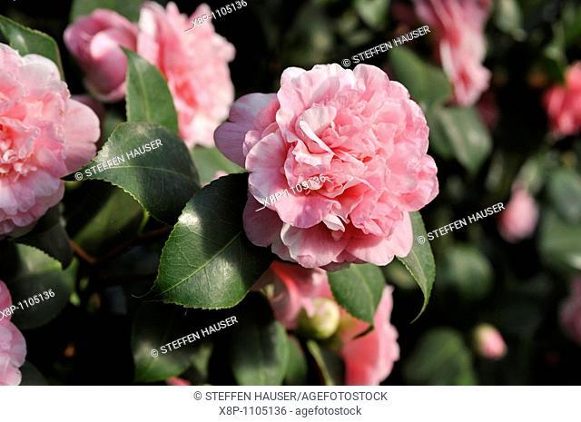 Camellia Camellia japonica 'Prinz Albert'